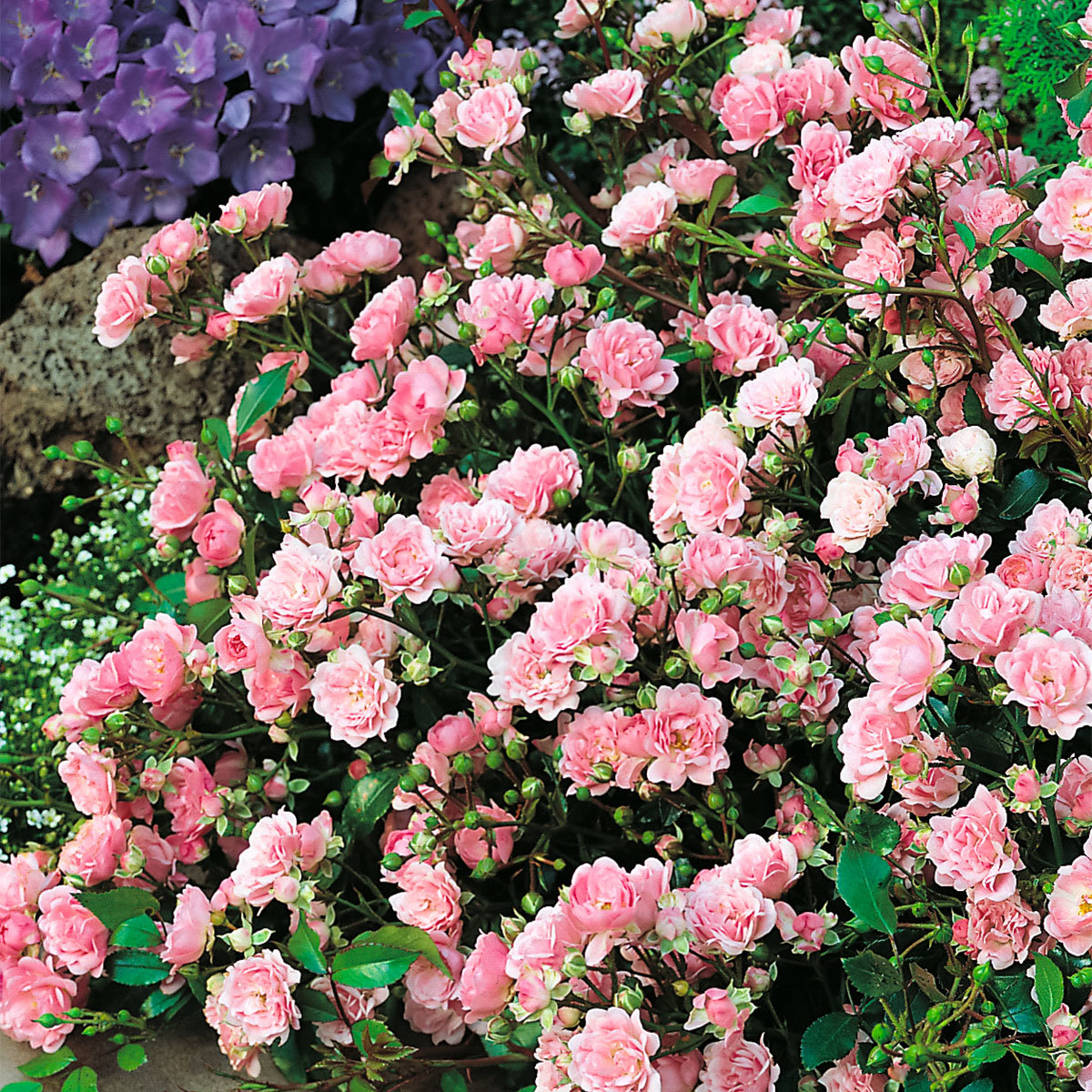 Bodendeckerrose The Fairy, im ca. 23 cm-Topf