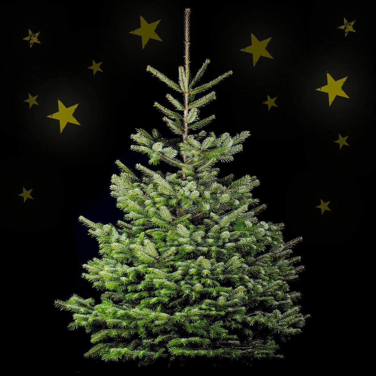 weihnachtsbaum nordmanntanne 150 170 cm von g rtner p tschke. Black Bedroom Furniture Sets. Home Design Ideas