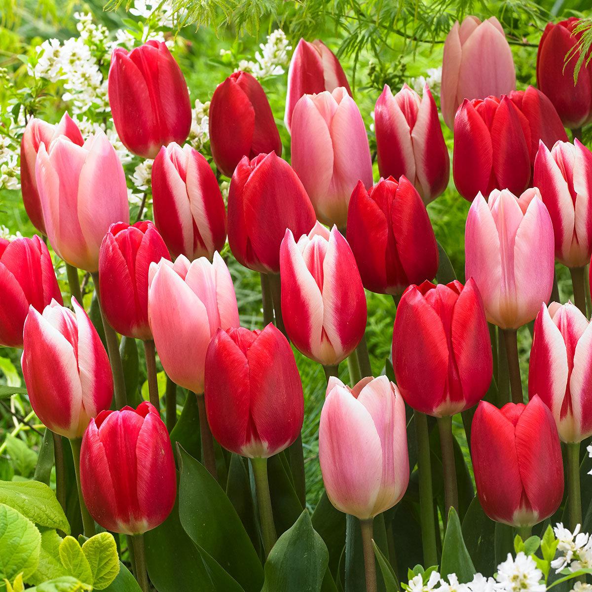 Tulpen Delight-Mischung