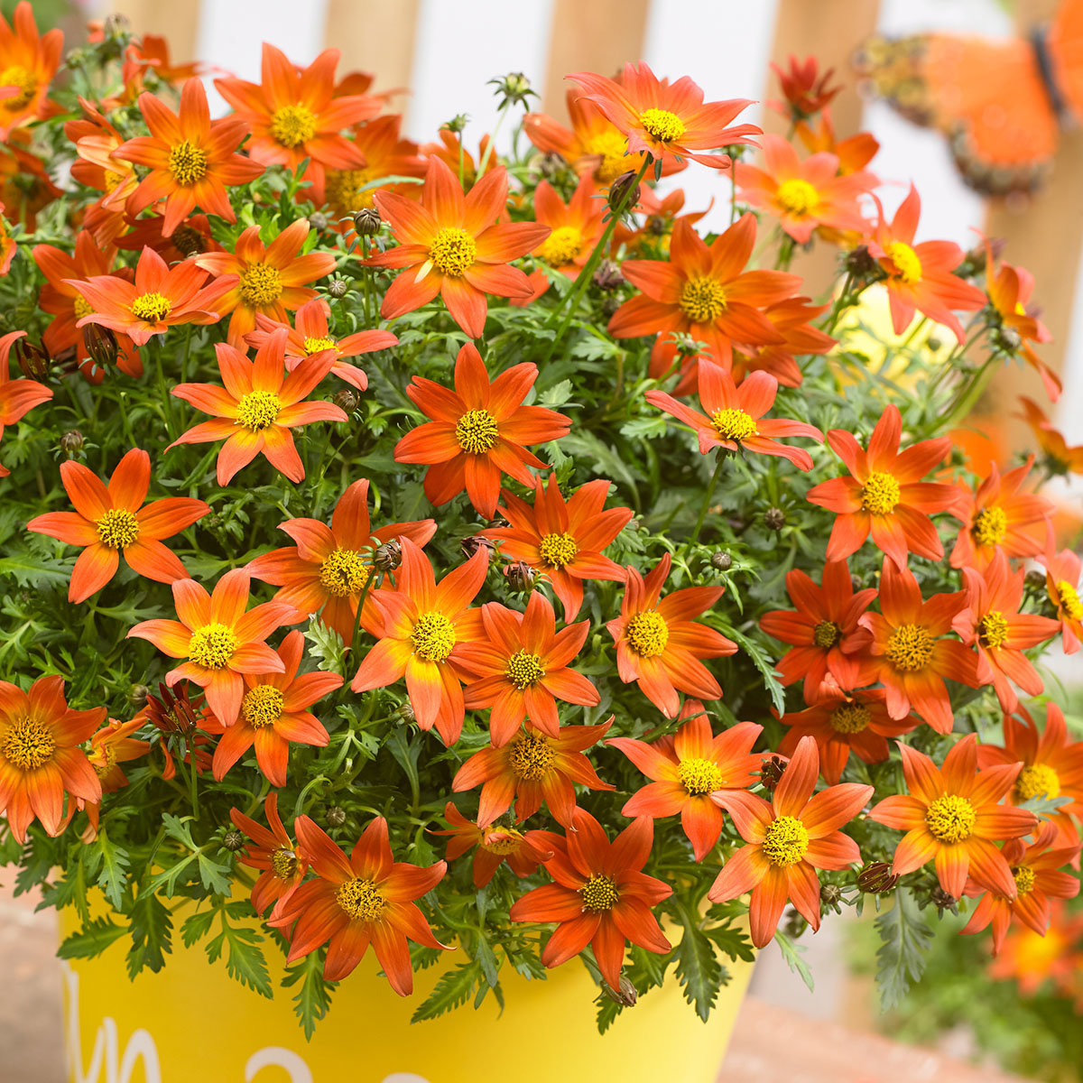 Mini-Jungpflanze Bidens Beedance Orange Splash