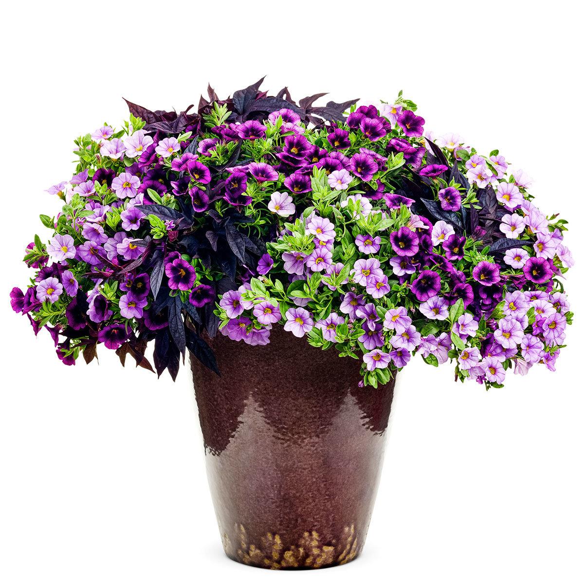 Mini-Jungpflanzen-Sortiment Purple Rain