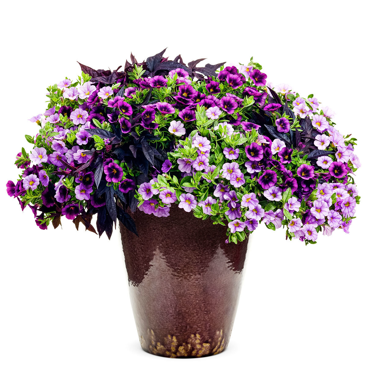 Mini-Jungpflanzen Beet- und Kübel Sortiment Purple Rain
