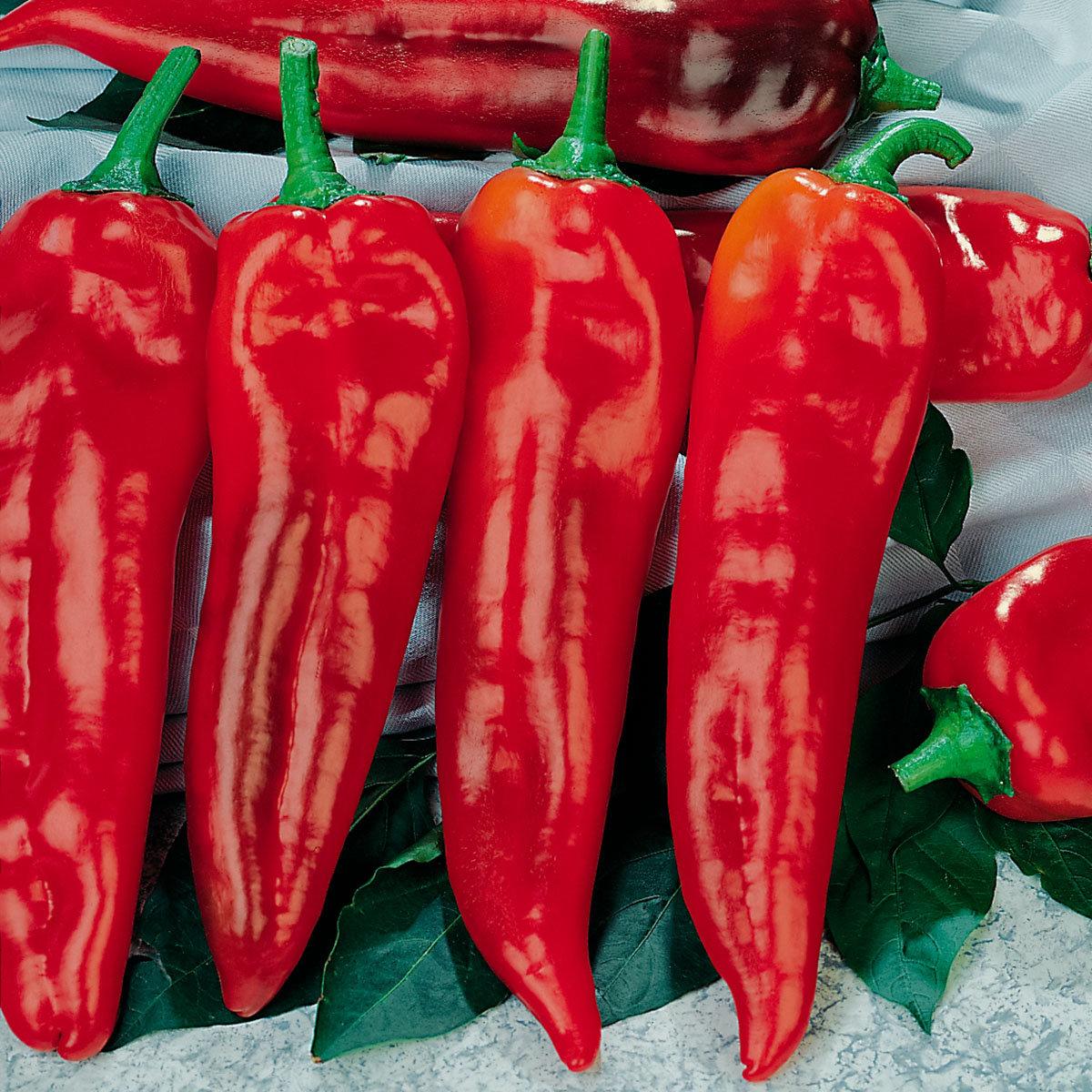 Mini-Jungpflanze Paprika Thor F1, veredelt