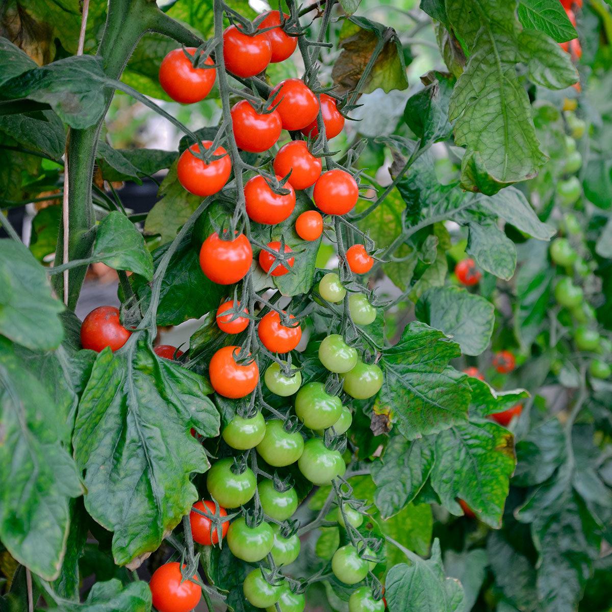 Mini-Jungpflanze Tomate Sweet Petit F1, veredelt