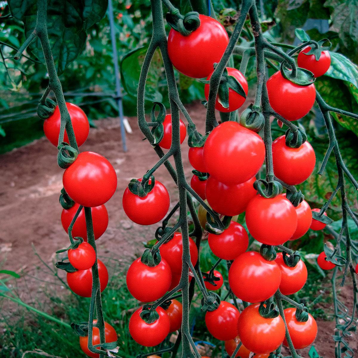 Mini-Jungpflanze Tomate Sweet Aperitif