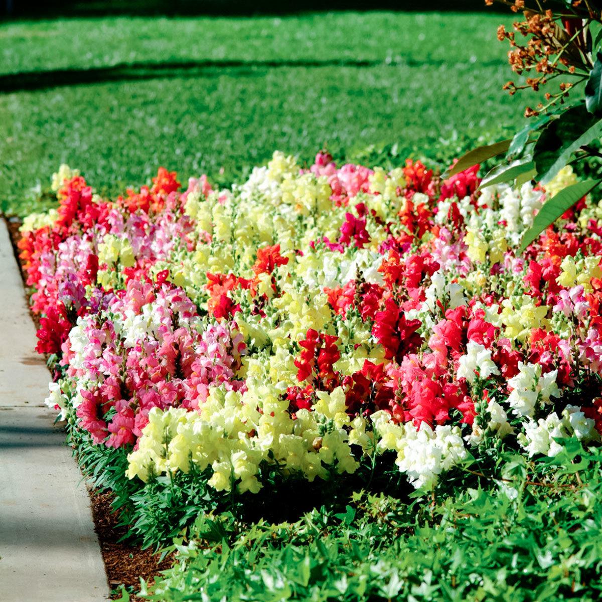Mini-Jungpflanzen Löwenmäulchen Floral Showers F1-Mischung