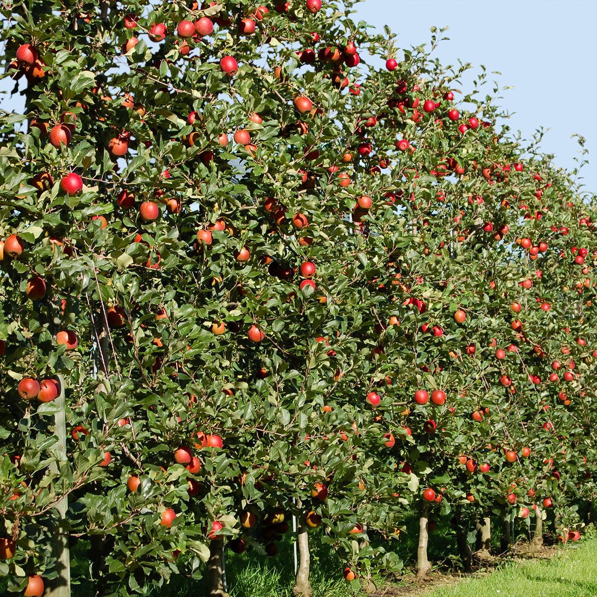 Apfel Mariella