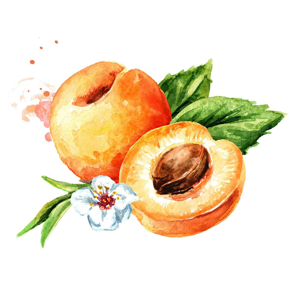 Aprikose Ungarische Beste, im ca. 23 cm-Topf