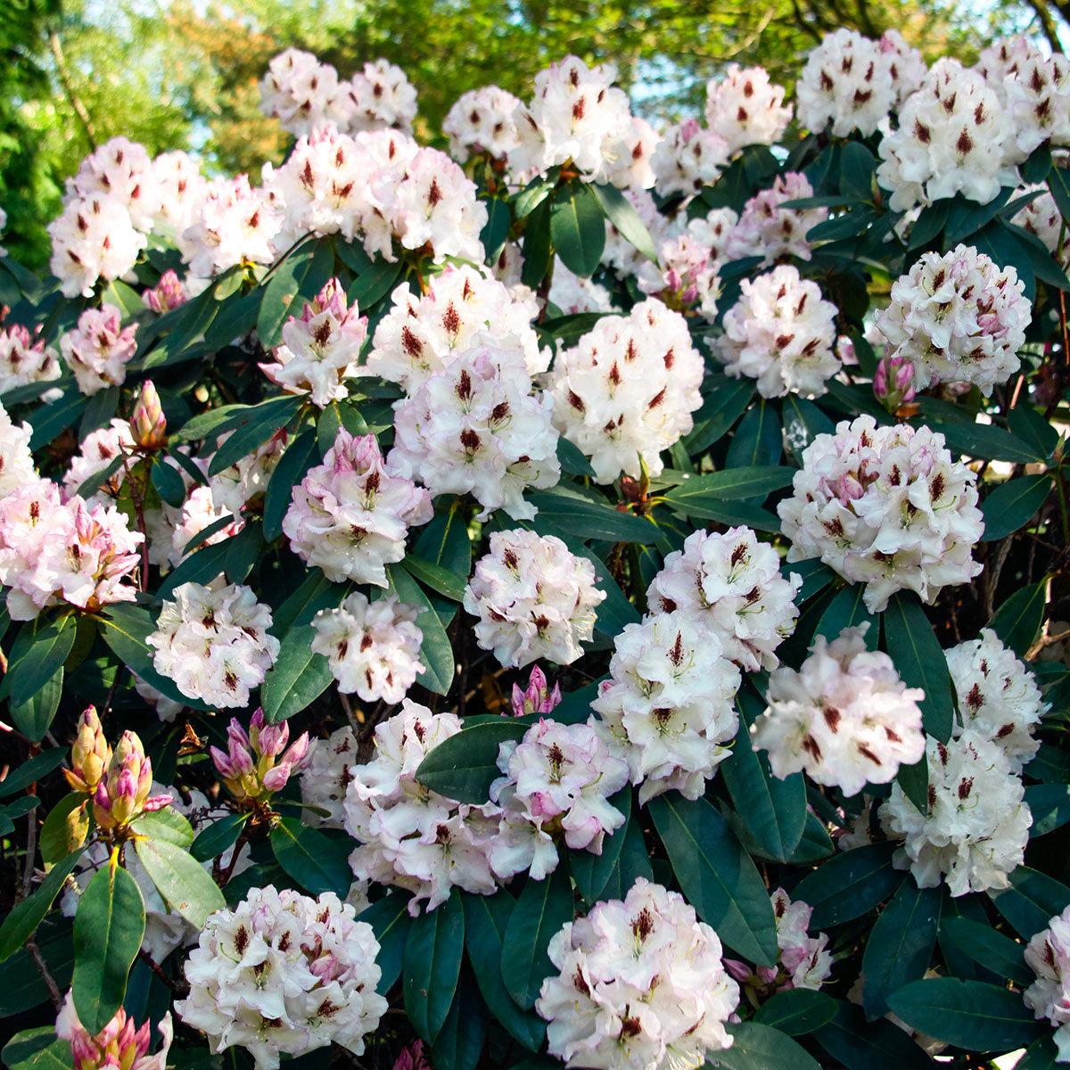 Rhododendron Gudrun