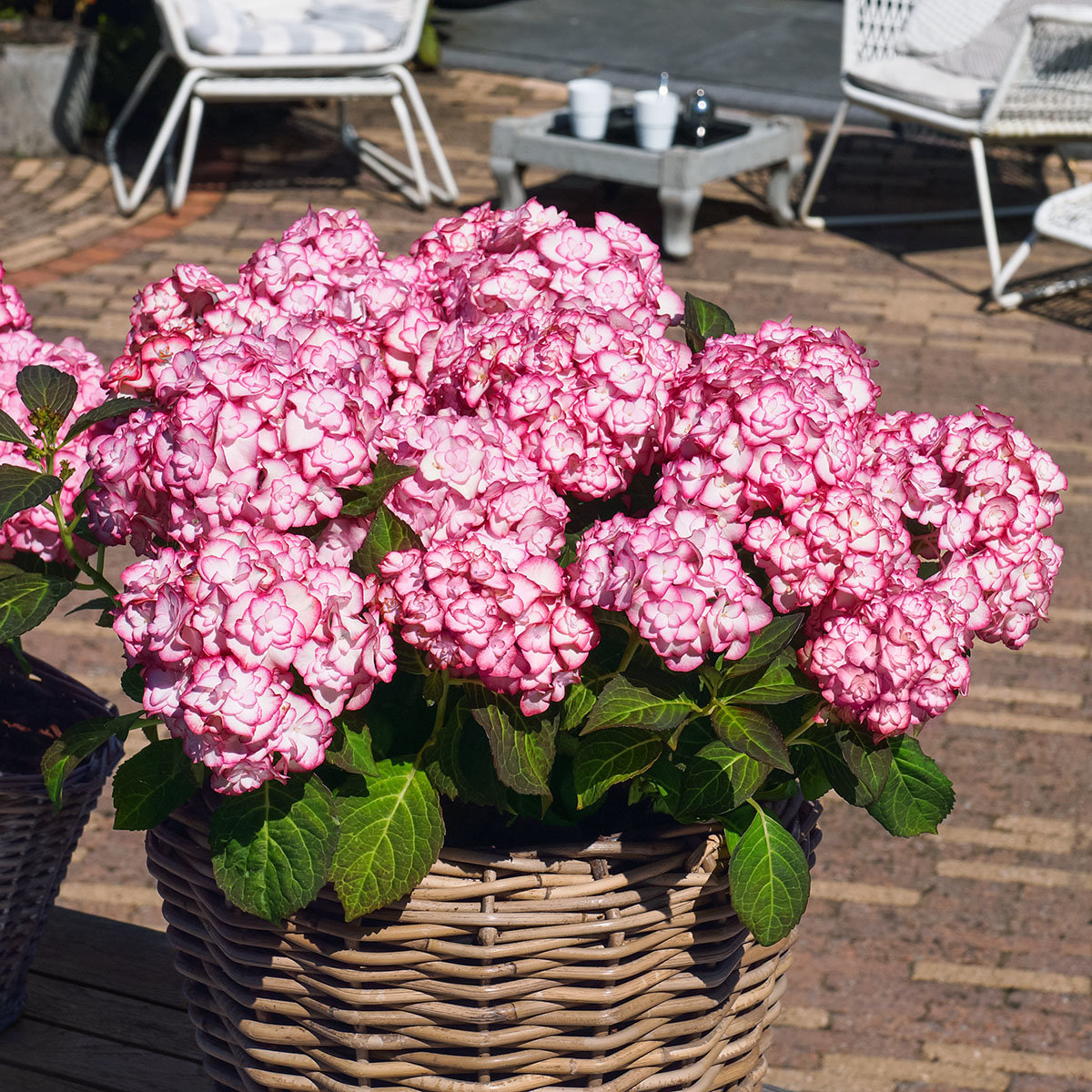 Garten-Hortensie Miss Saori, rosa, im ca. 15 cm-Topf