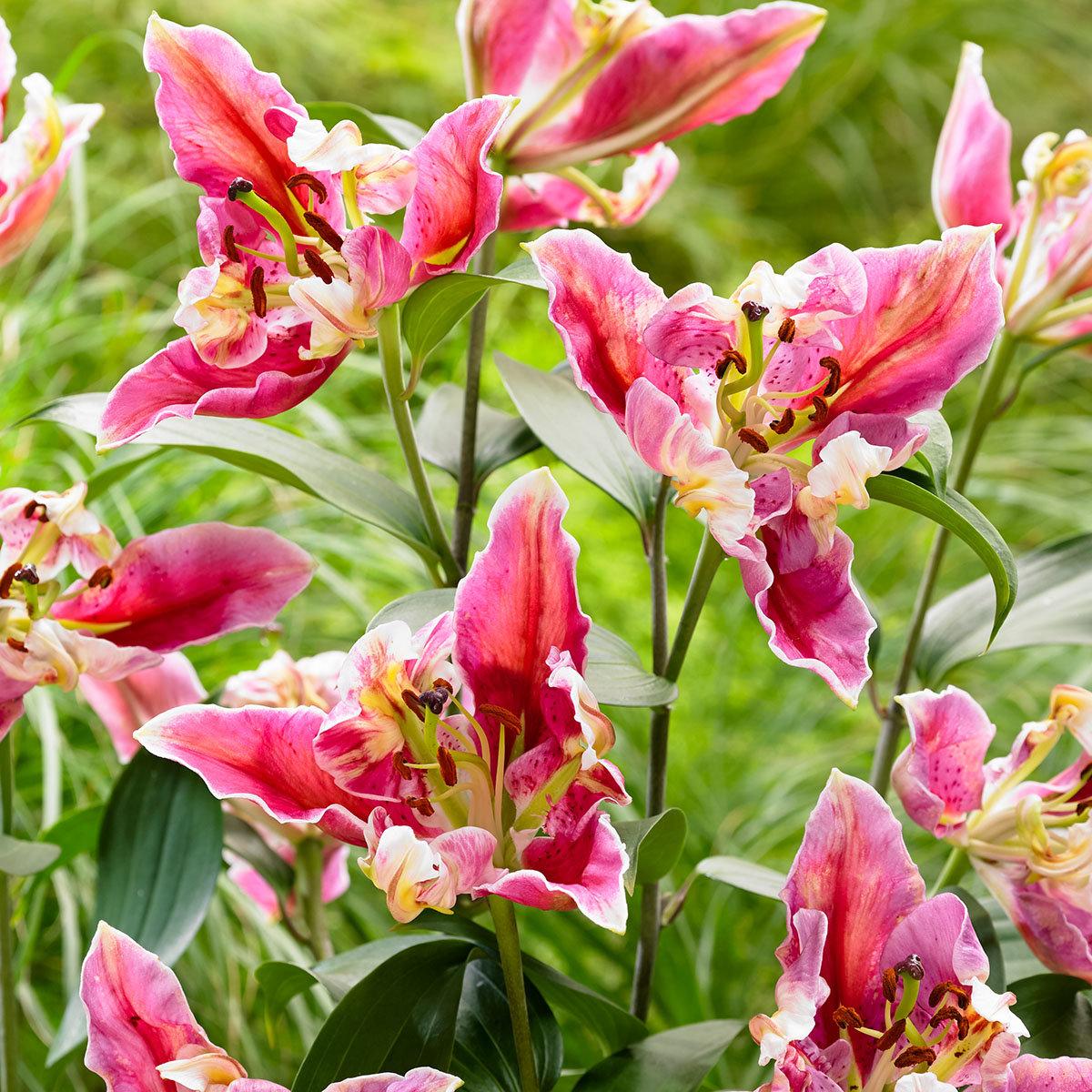 Orientalische Lilie Parrot Pink Cariba