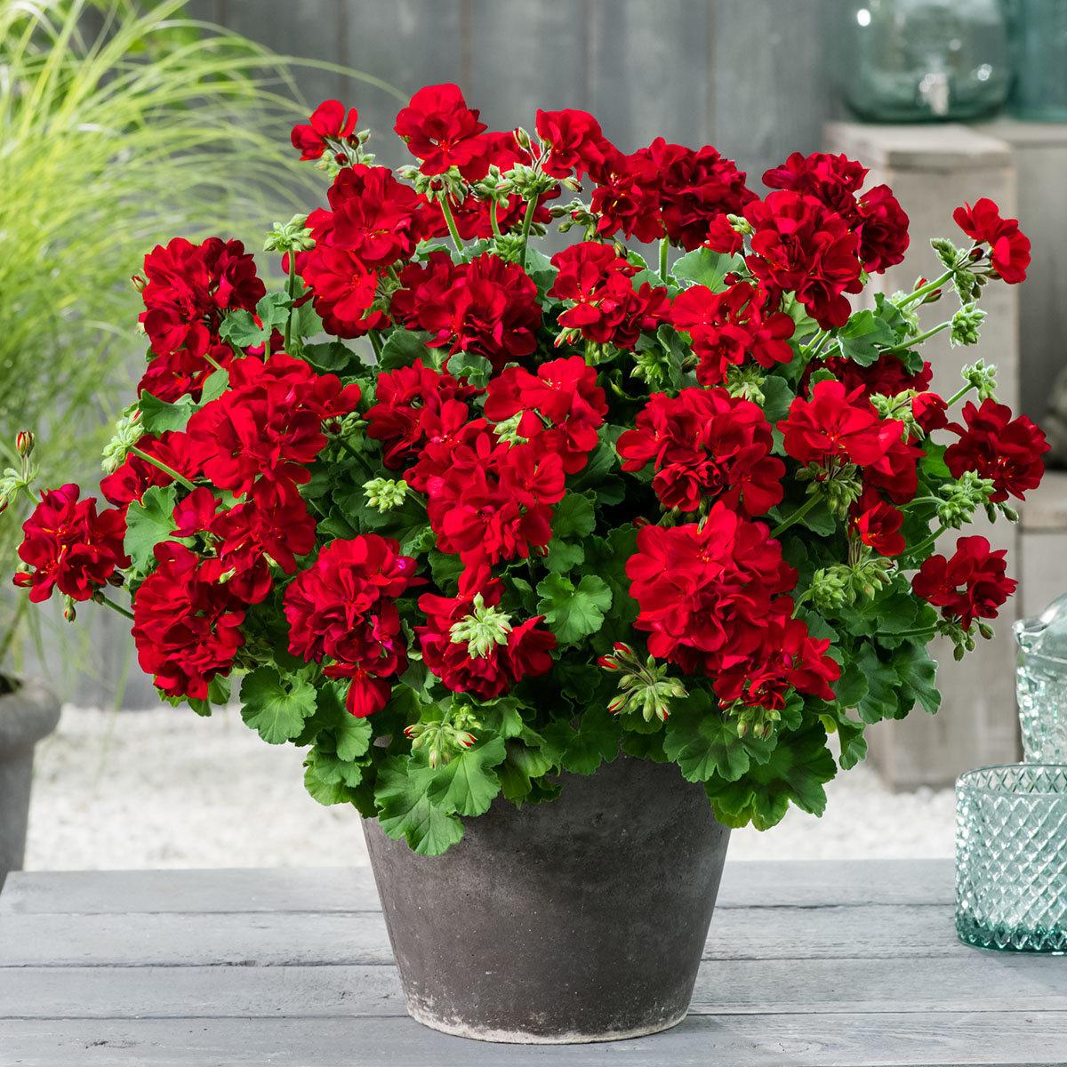 Calliope® Geranie Dark Red
