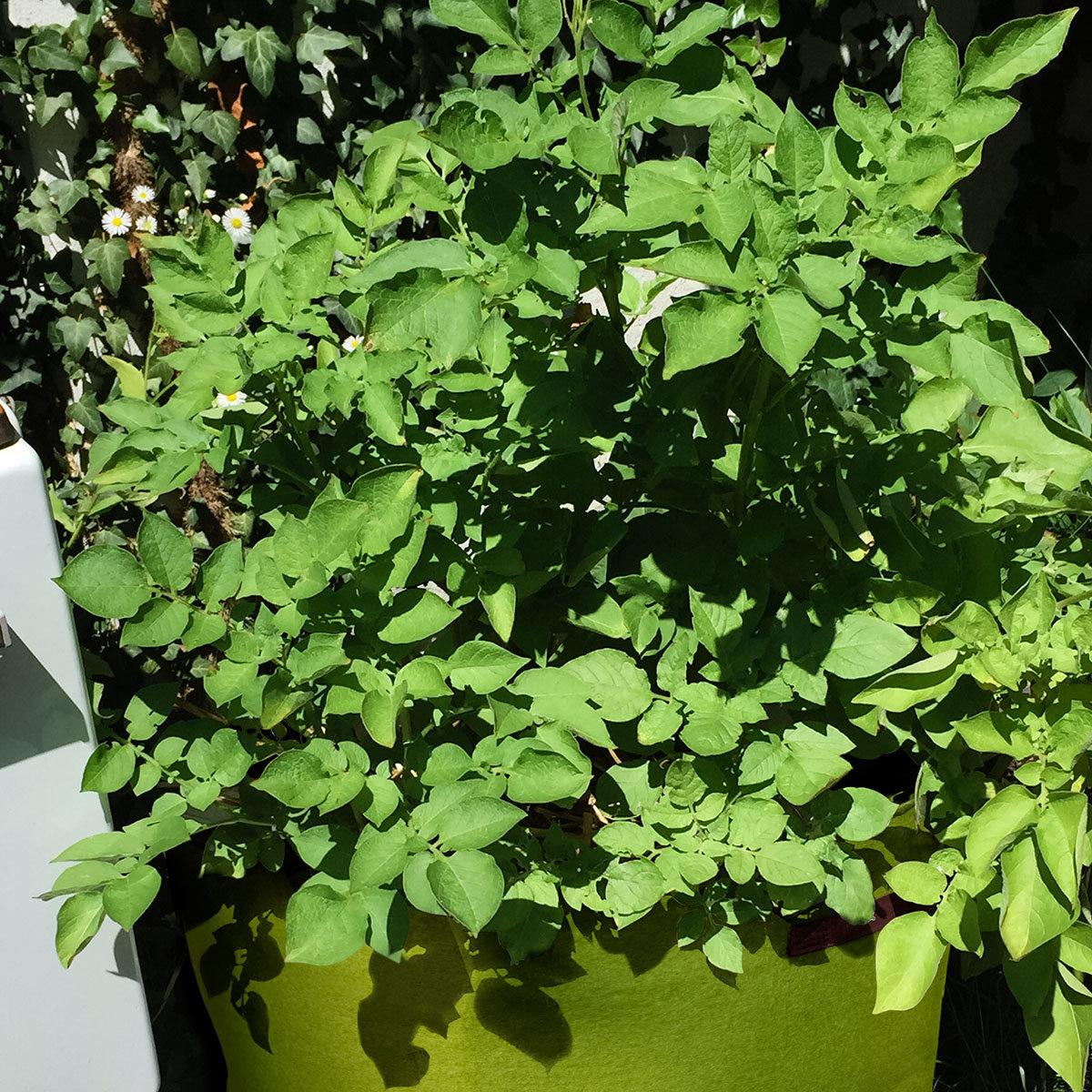 Kartoffelpflanze Sarpo Shona