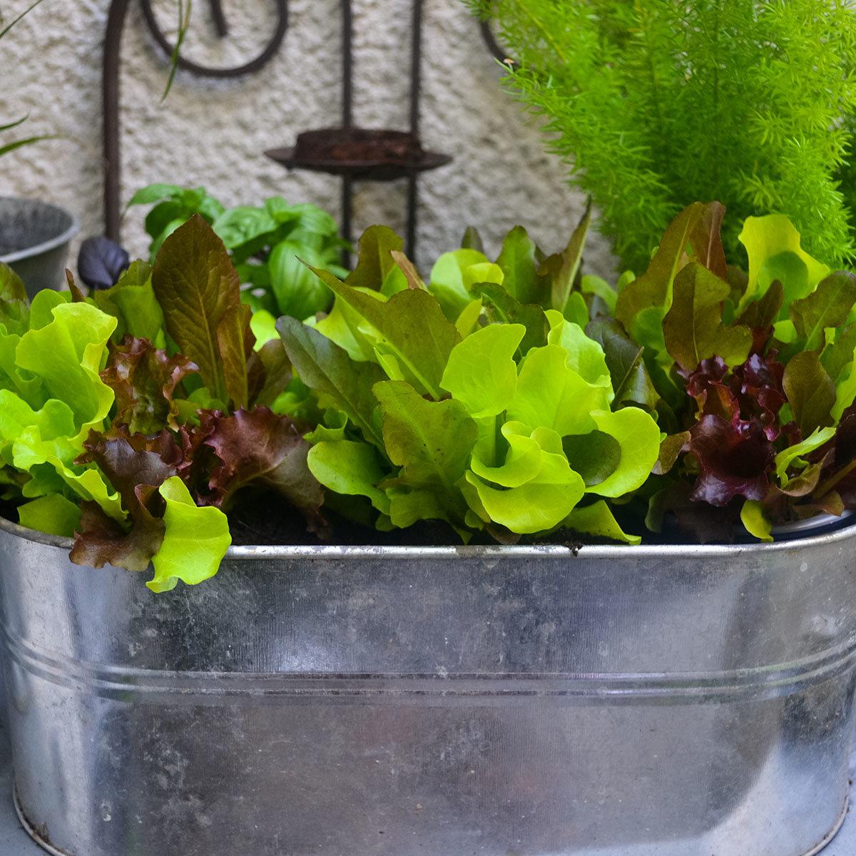 Pflück-Salatpflanze, im ca. 11 cm-Topf