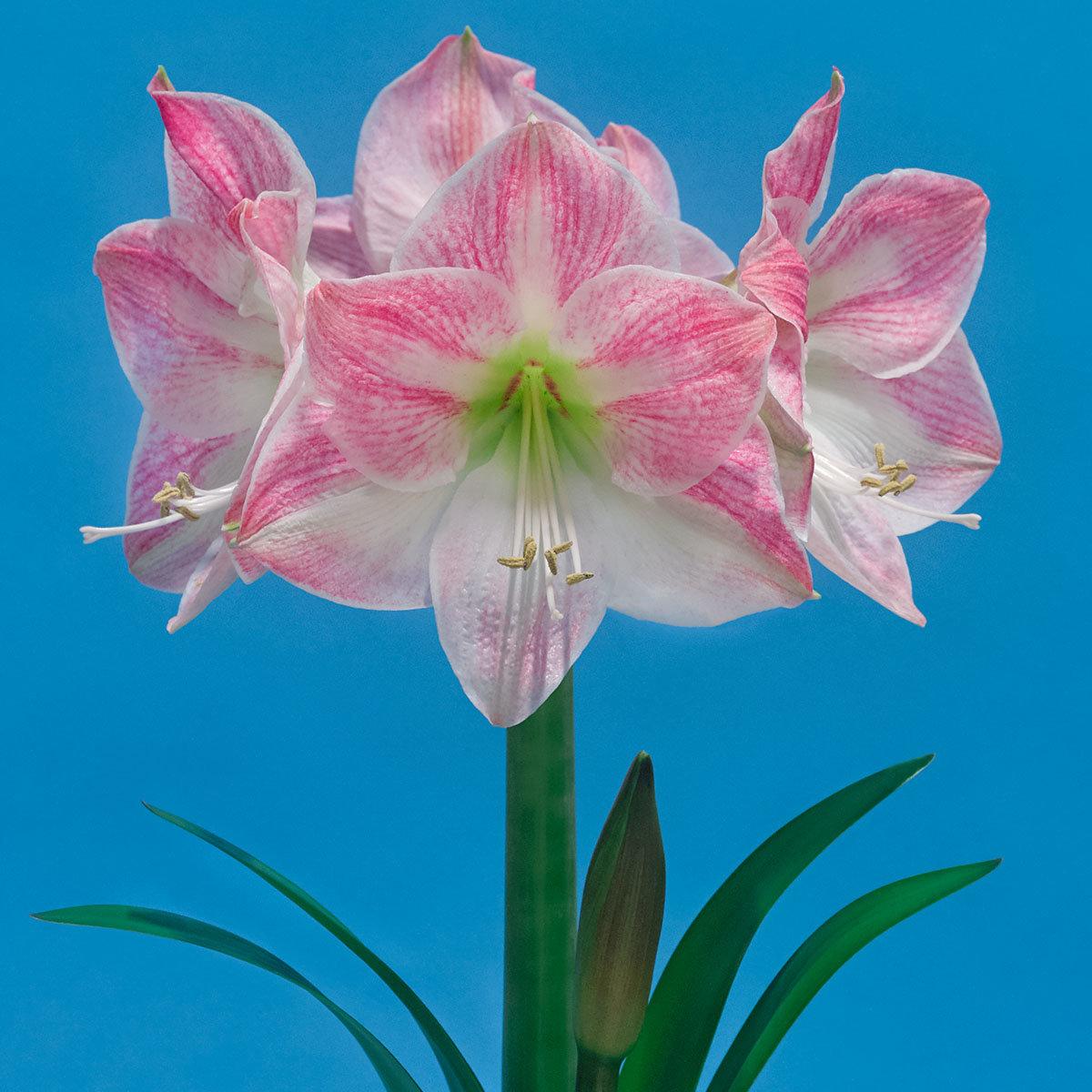 amaryllis cherry bloss online kaufen bei g rtner p tschke. Black Bedroom Furniture Sets. Home Design Ideas