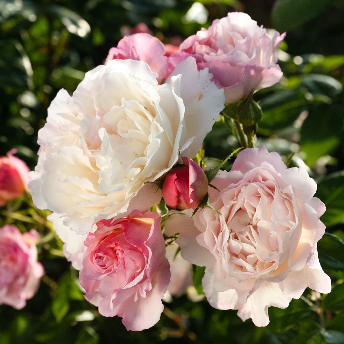 Rose Herkules, XL-Qualität