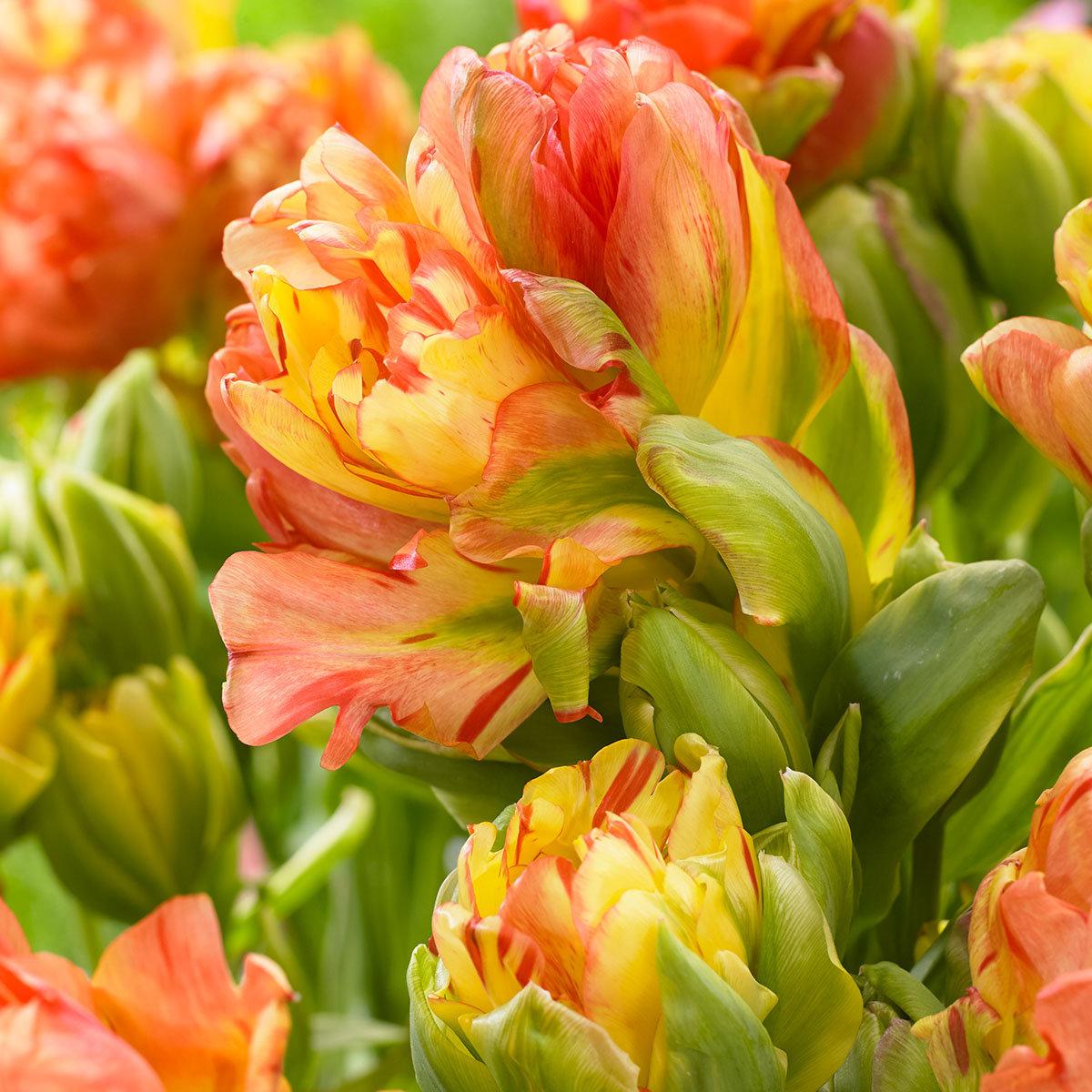 Tulpe Fruitcocktail