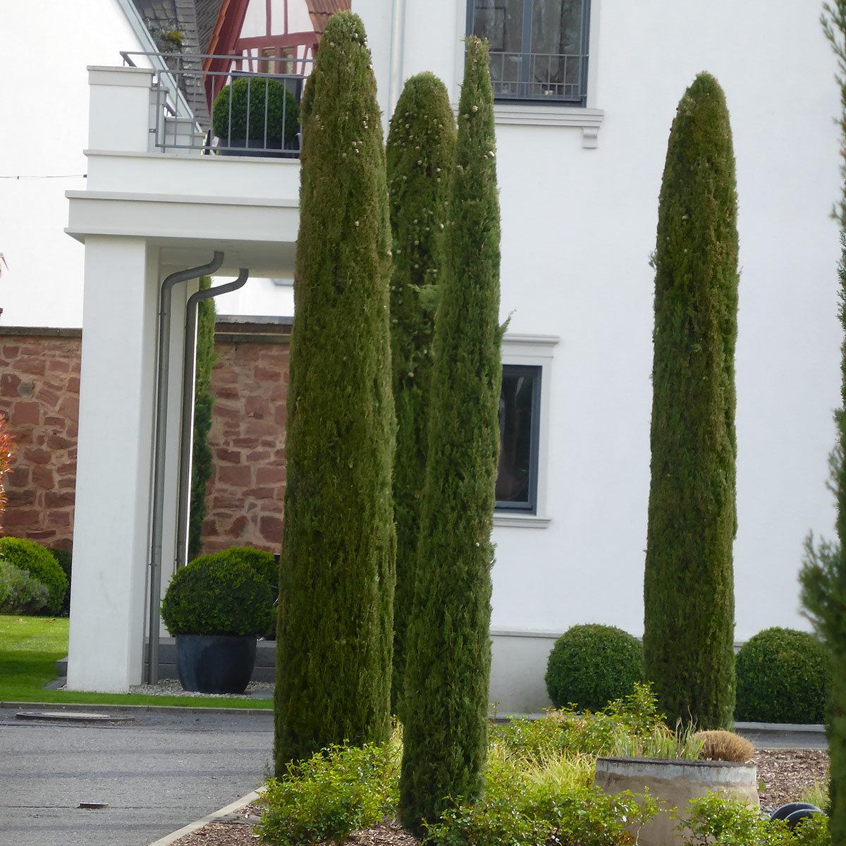 Echte Toscana-Zypresse Pyramidalis,  XL-Qualität
