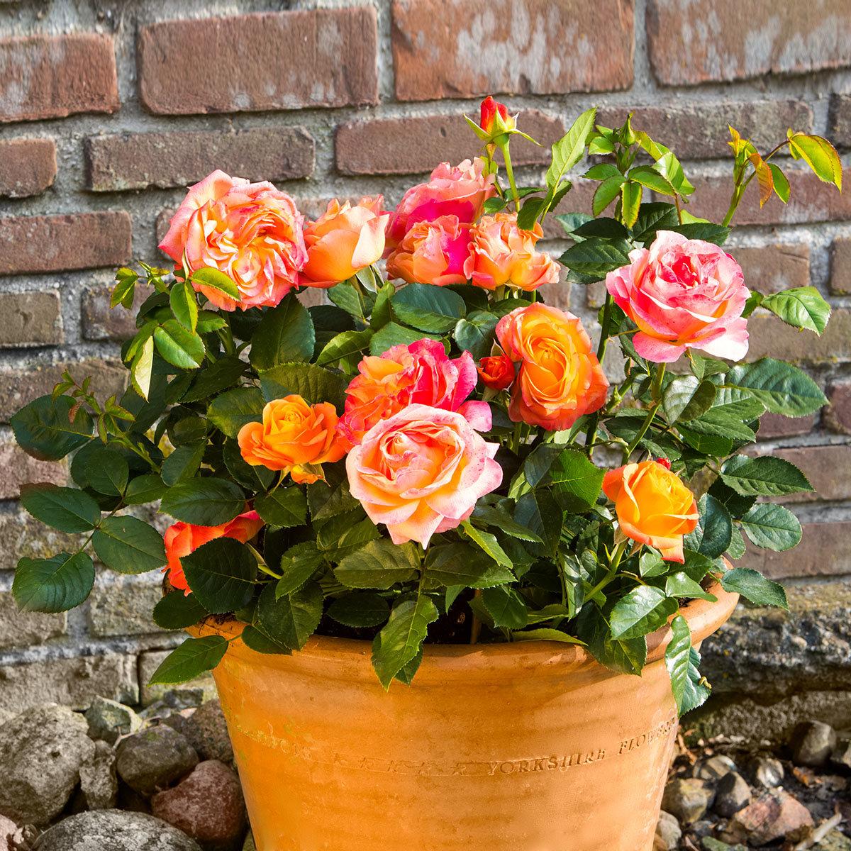 Rose Antigua®, XL-Qualität