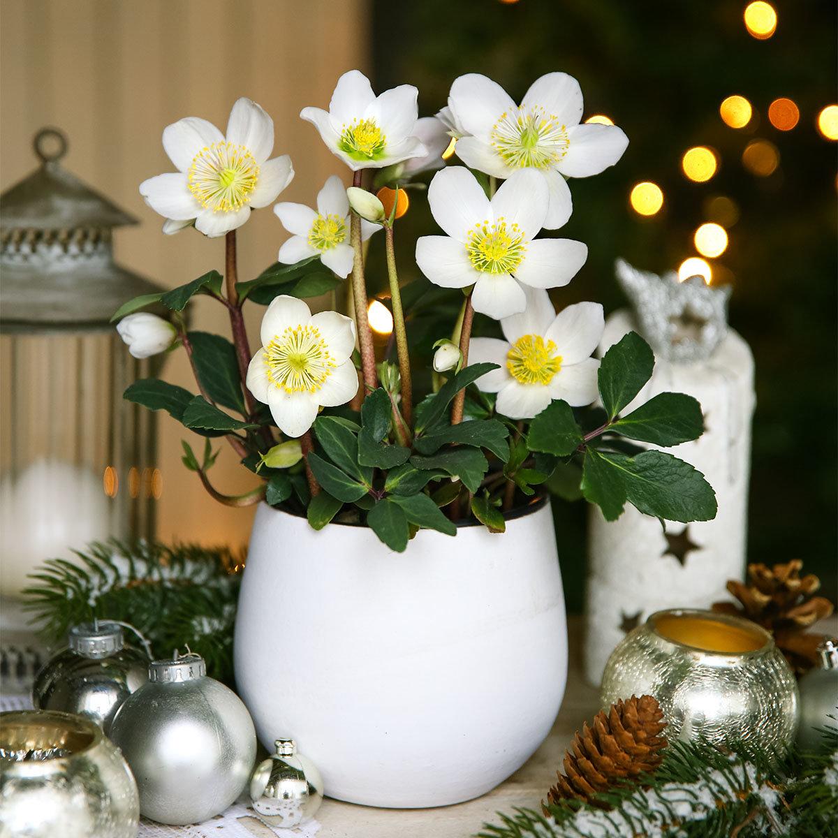 Echte Weihnachts-Christrose
