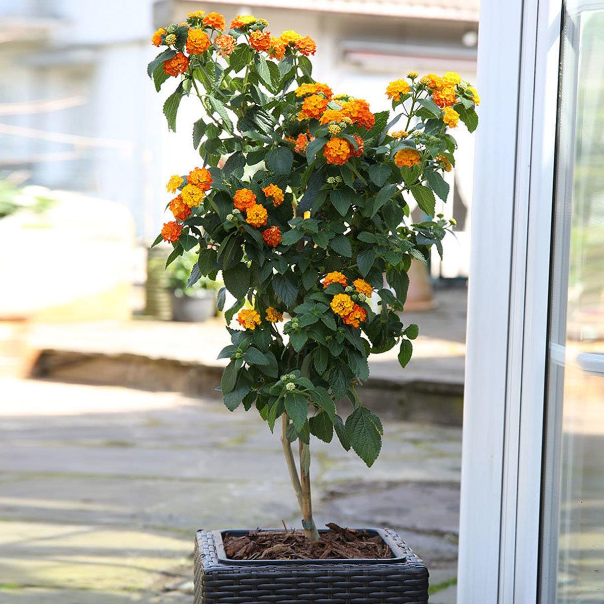 Wandelröschen-Stamm, orange, im ca. 19 cm-Topf
