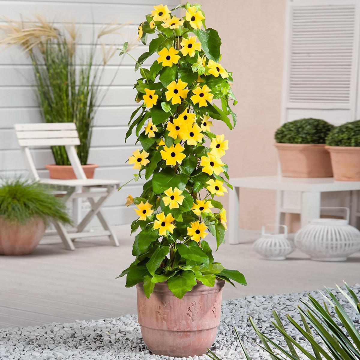 Schwarzäugige Susanne, gelb ca. 17 cm-Topf
