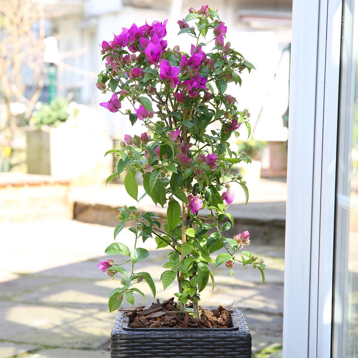 Wunderblumen-Stämmchen, XL-Qualität