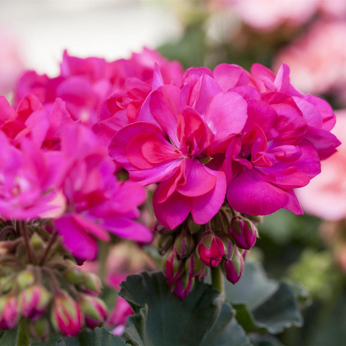 Geranie, pink, XL-Qualität
