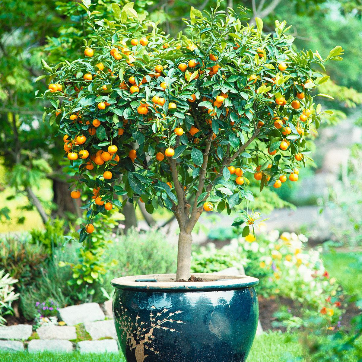 Calamondin-Orange XXL Stamm, im ca. 36 cm-Topf