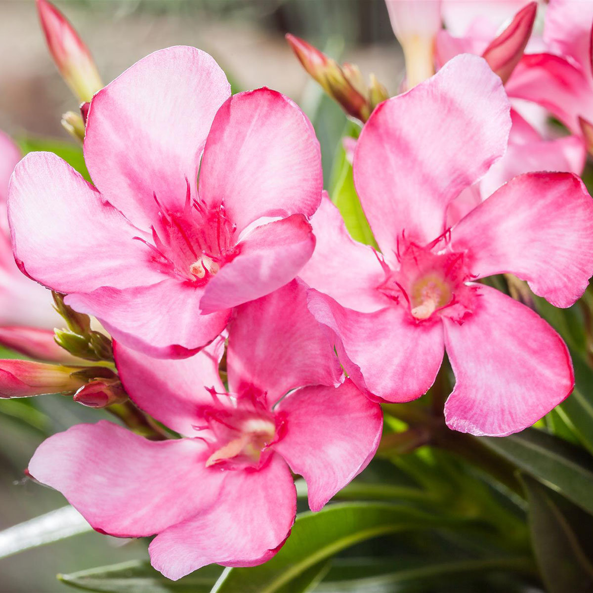 Oleander Busch, rosa, XL-Qualität