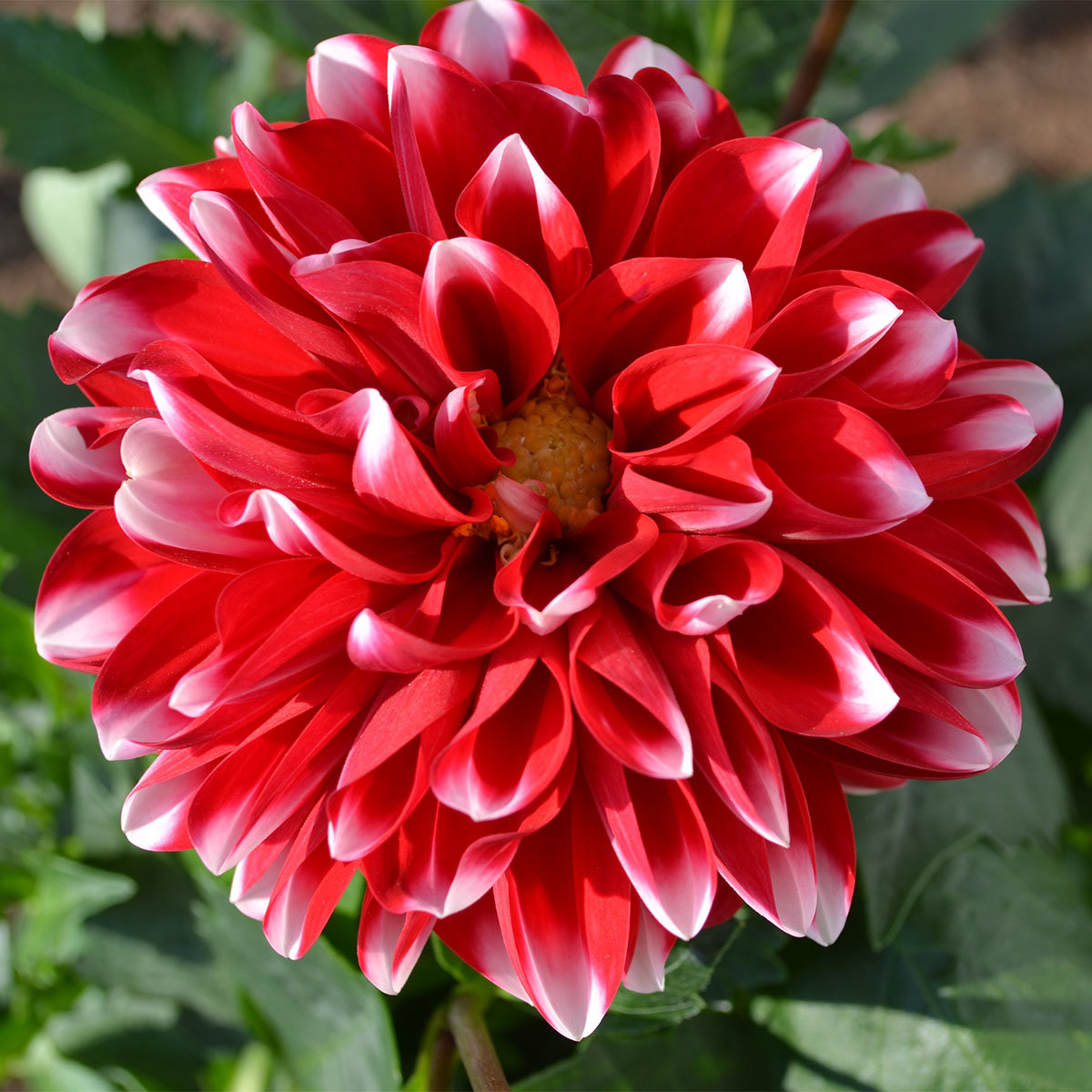 Dahlie, rot-weiß, XL-Qualität