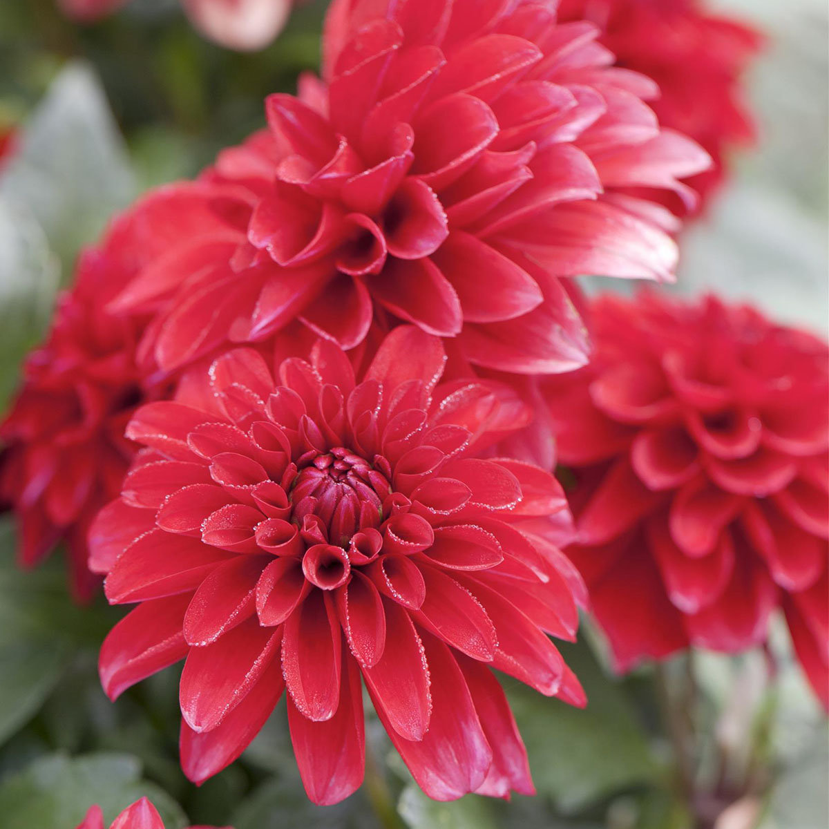 Dahlie, rot, XL -Qualität