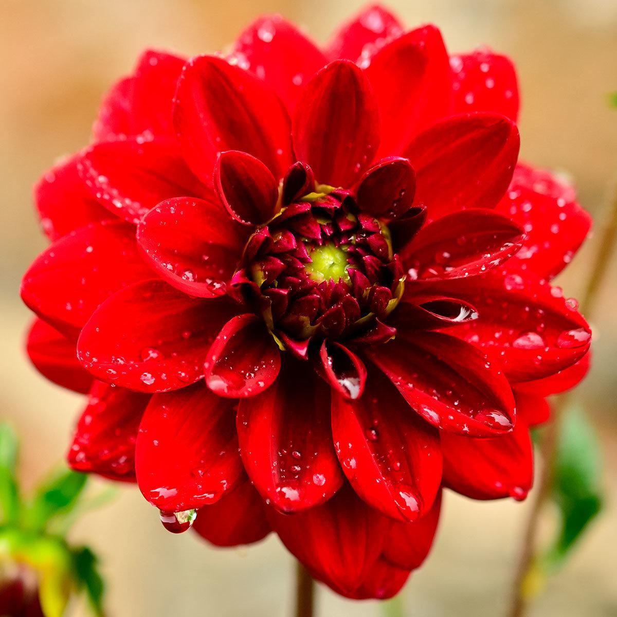 Rote Dahlie, im ca. 19 cm-Topf