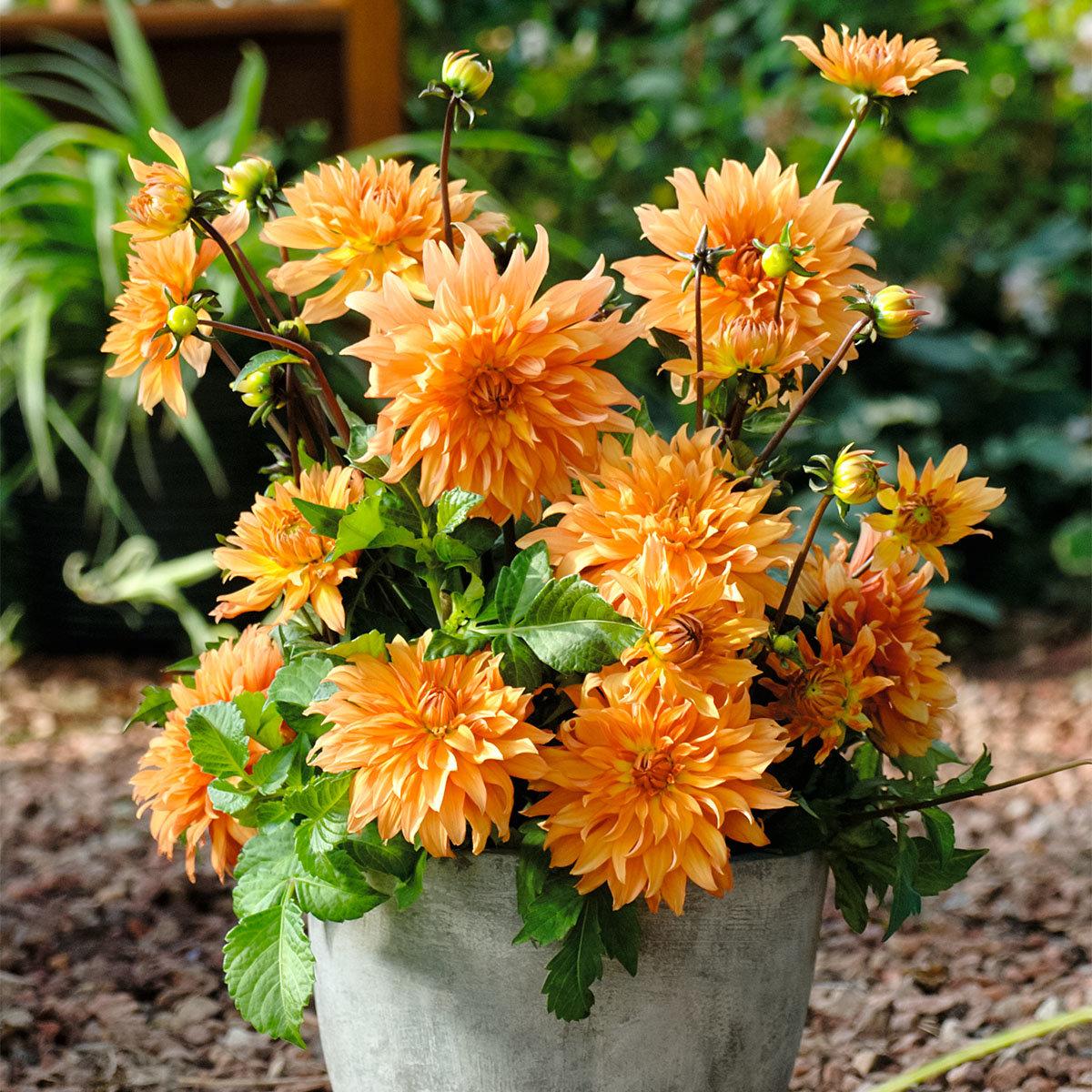 Orange Dahlie, im ca. 19 cm-Topf