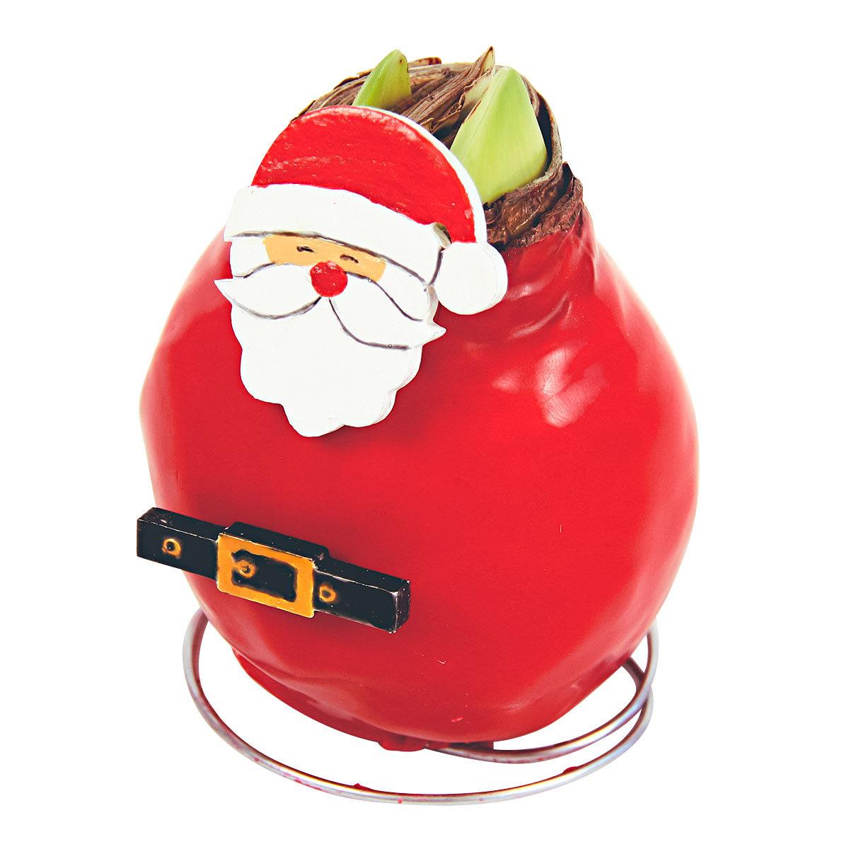 Amaryllis Wax, Santa Claus
