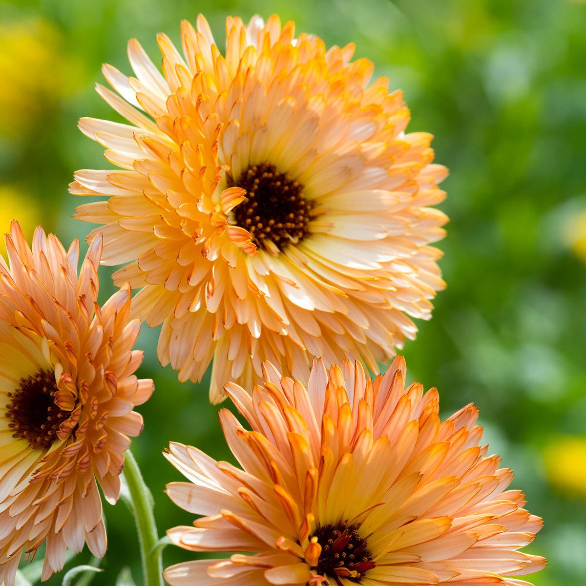 Ringelblumensamen Orange Flash