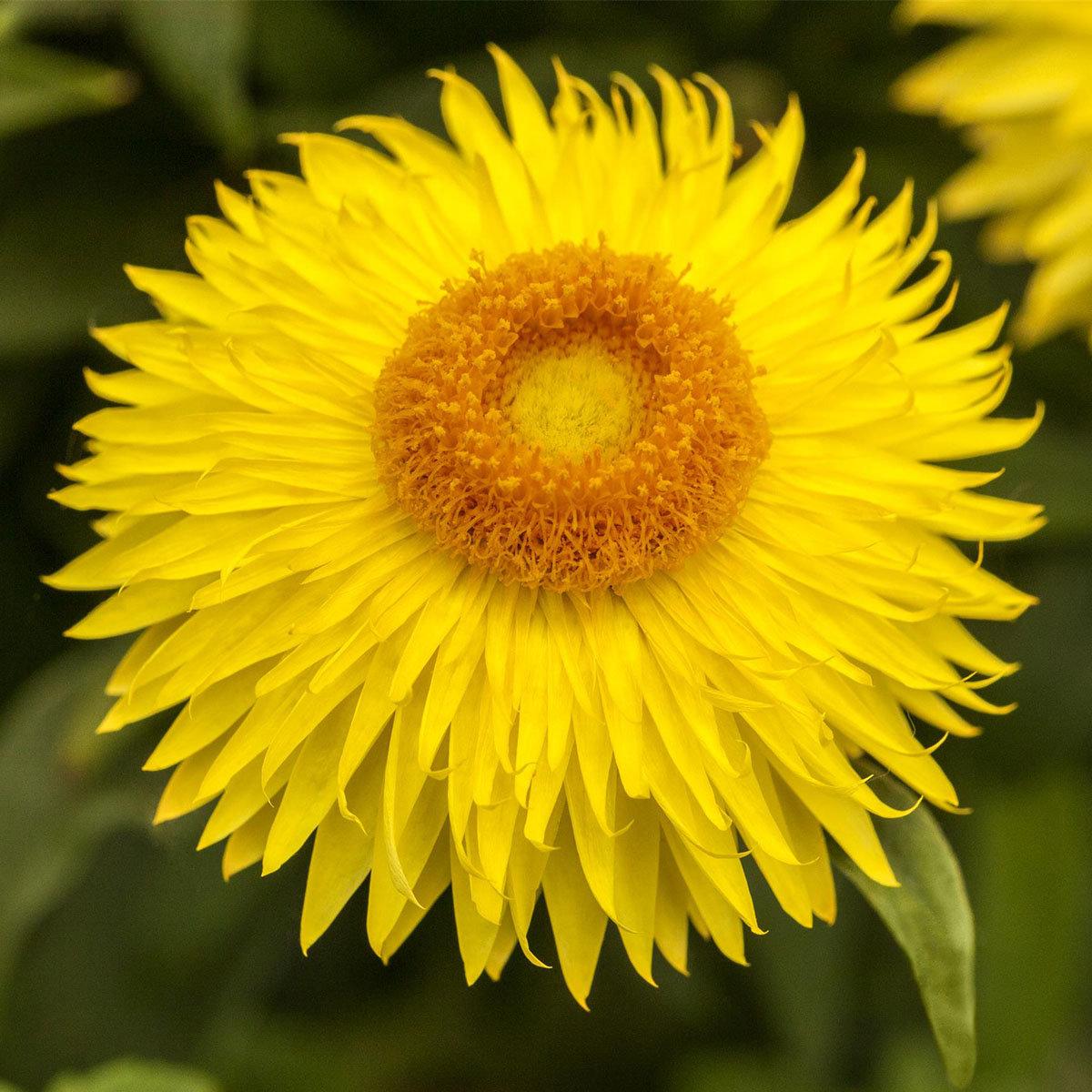Gelbe Strohblume XL