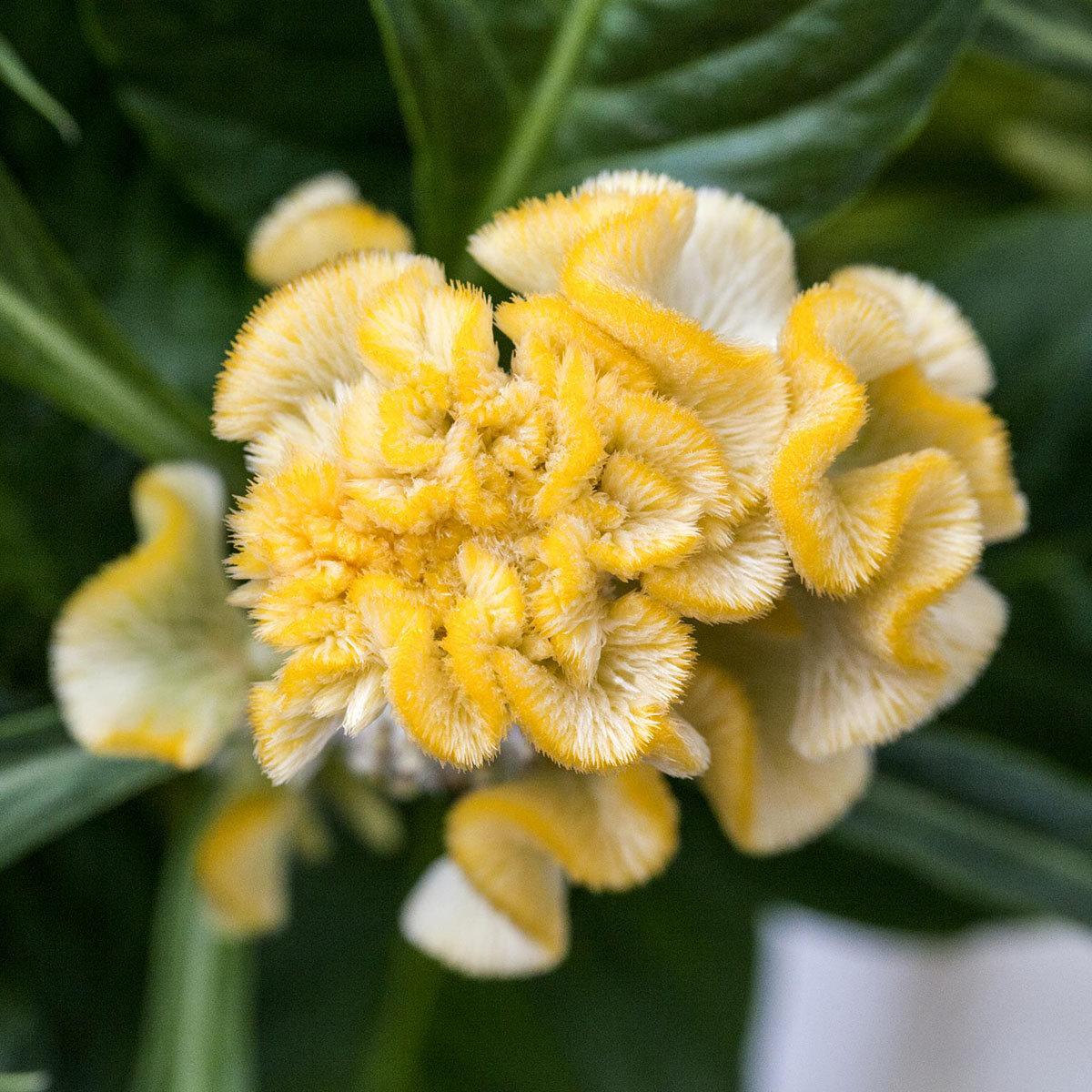 Gelbe Celosie XL