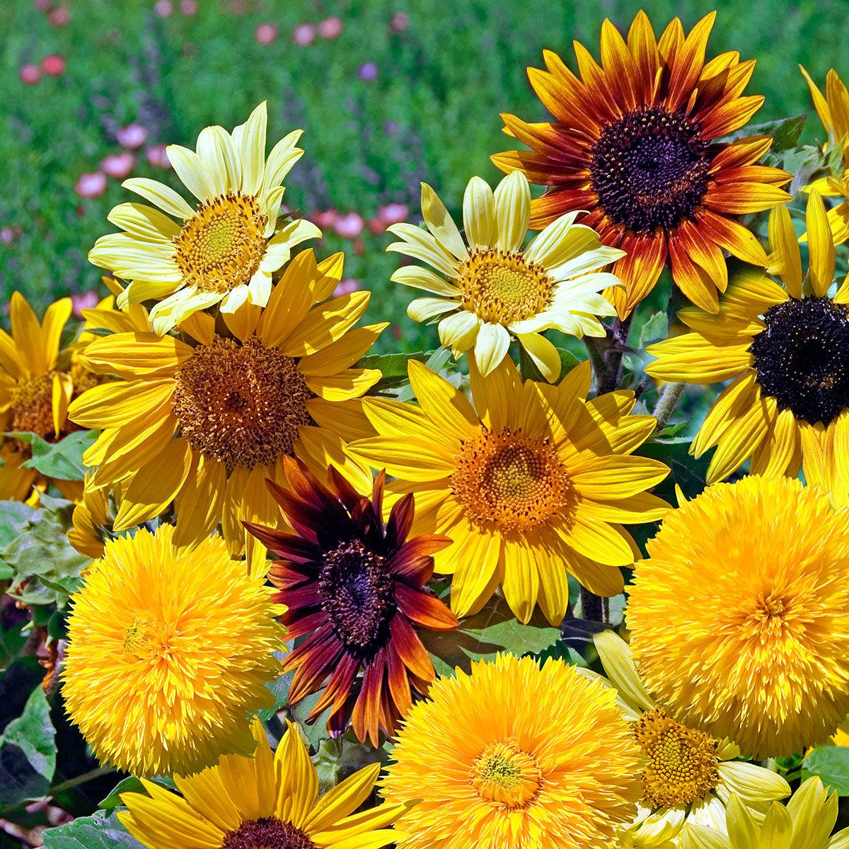 Sonnenblumensamen Azteca-Mischung