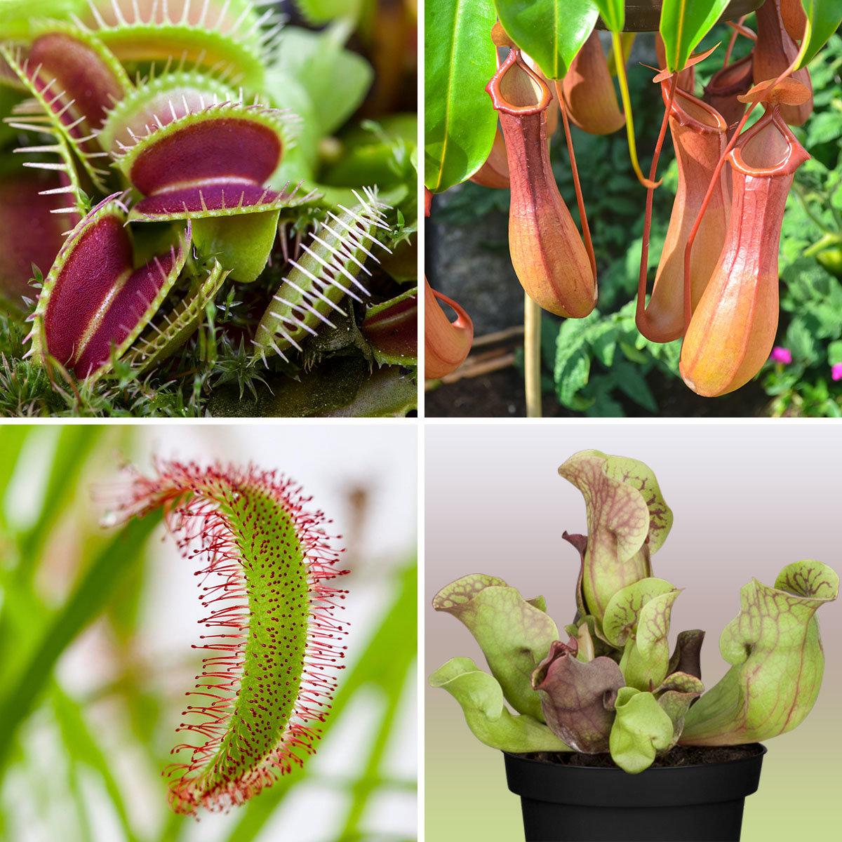 Set Fleischfressende Pflanzen, im ca. 9 cm-Topf