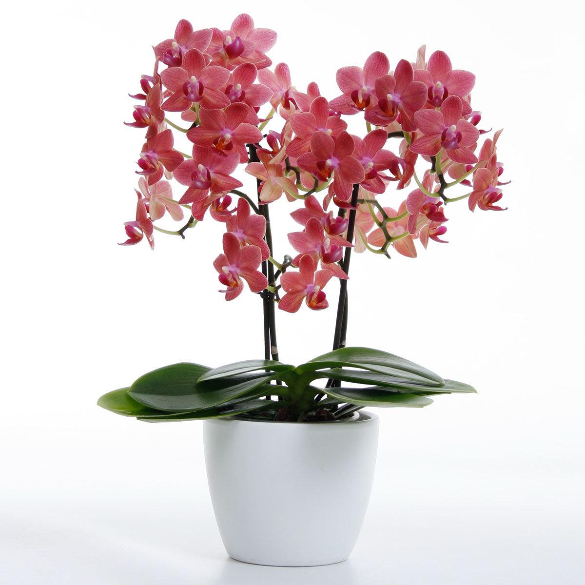 Schmetterlings-Orchidee Sunset