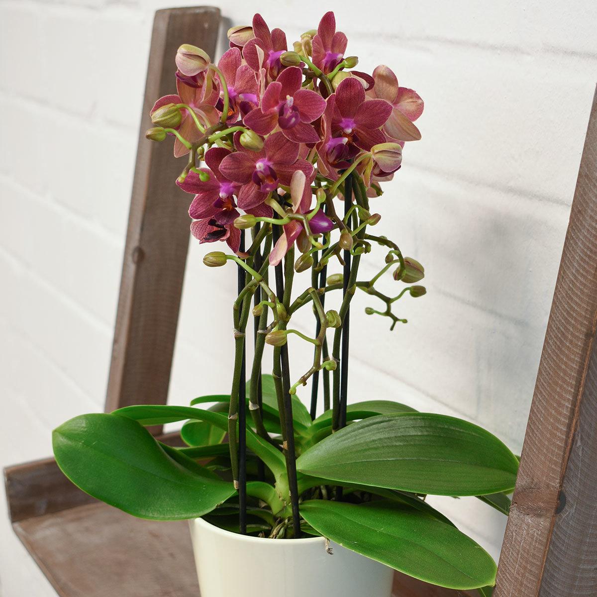 schmetterlings orchidee sunset inklusive ber und wasserspeichertopf online kaufen bei g rtner. Black Bedroom Furniture Sets. Home Design Ideas