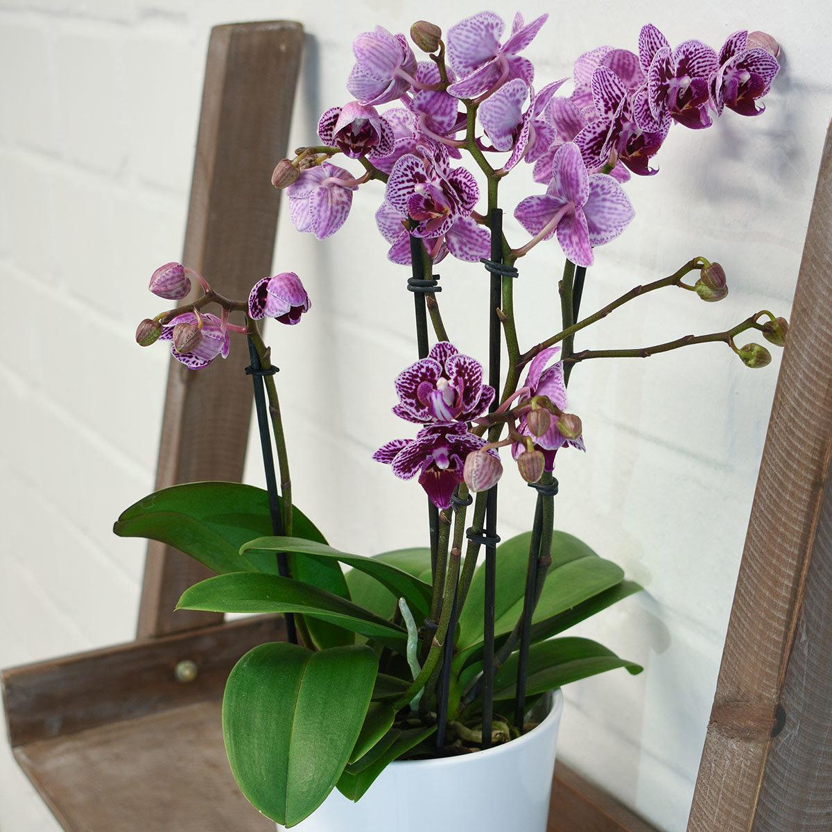 Schmetterlings-Orchidee Champion Swan inklusive Über- und Wasserspeichertopf