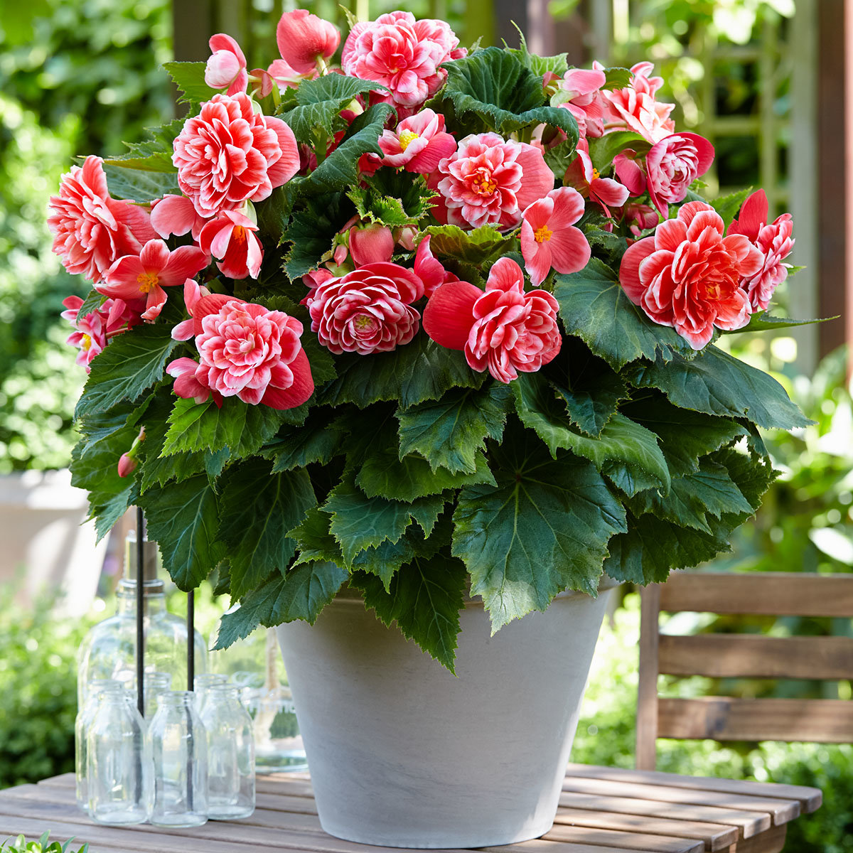 Begonie Camellia