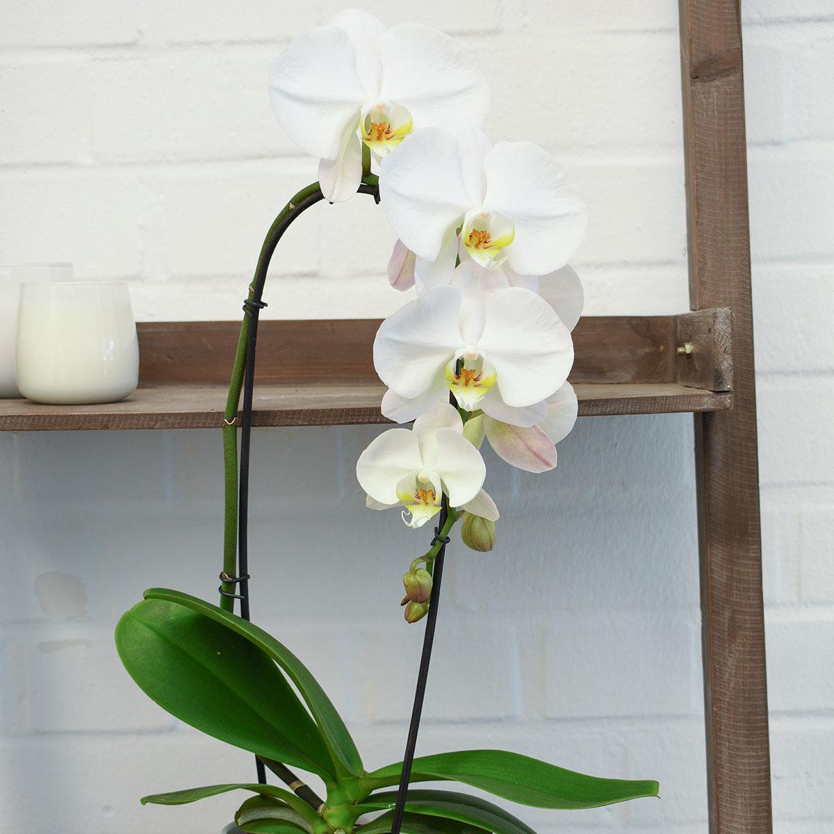Schmetterlings-Orchidee Cascade weiß inklusive Über- und Wasserspeichertopf