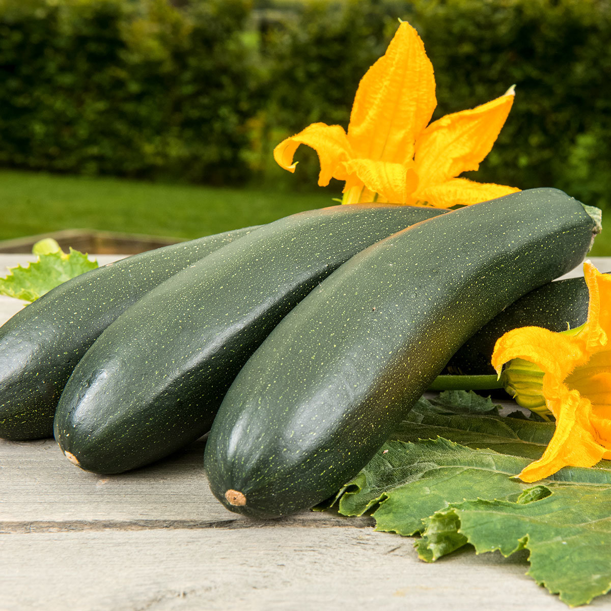 Kletter-Zucchinipflanze Alando, im ca. 11 cm-Topf