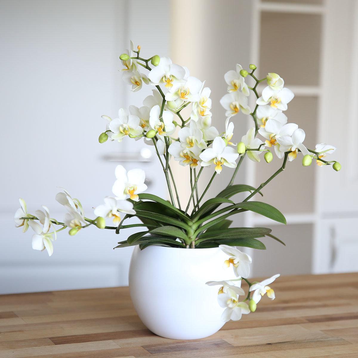 Schmetterlings-Orchidee Lausanne, im ca. 12 cm-Topf, mit Keramiktopf