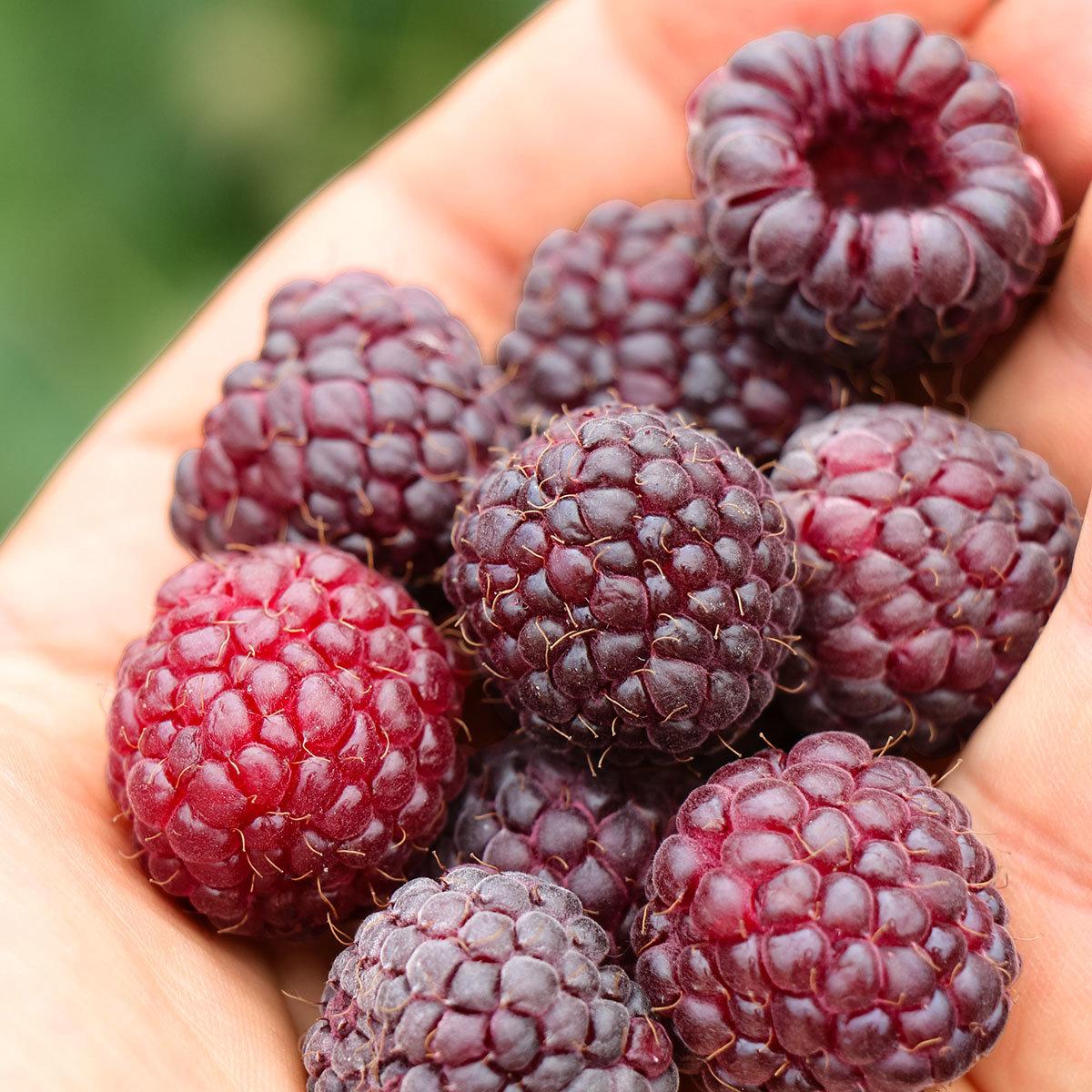 Purpurhimbeere Primeberry® Malling Passion®, im ca. 13 cm-Topf