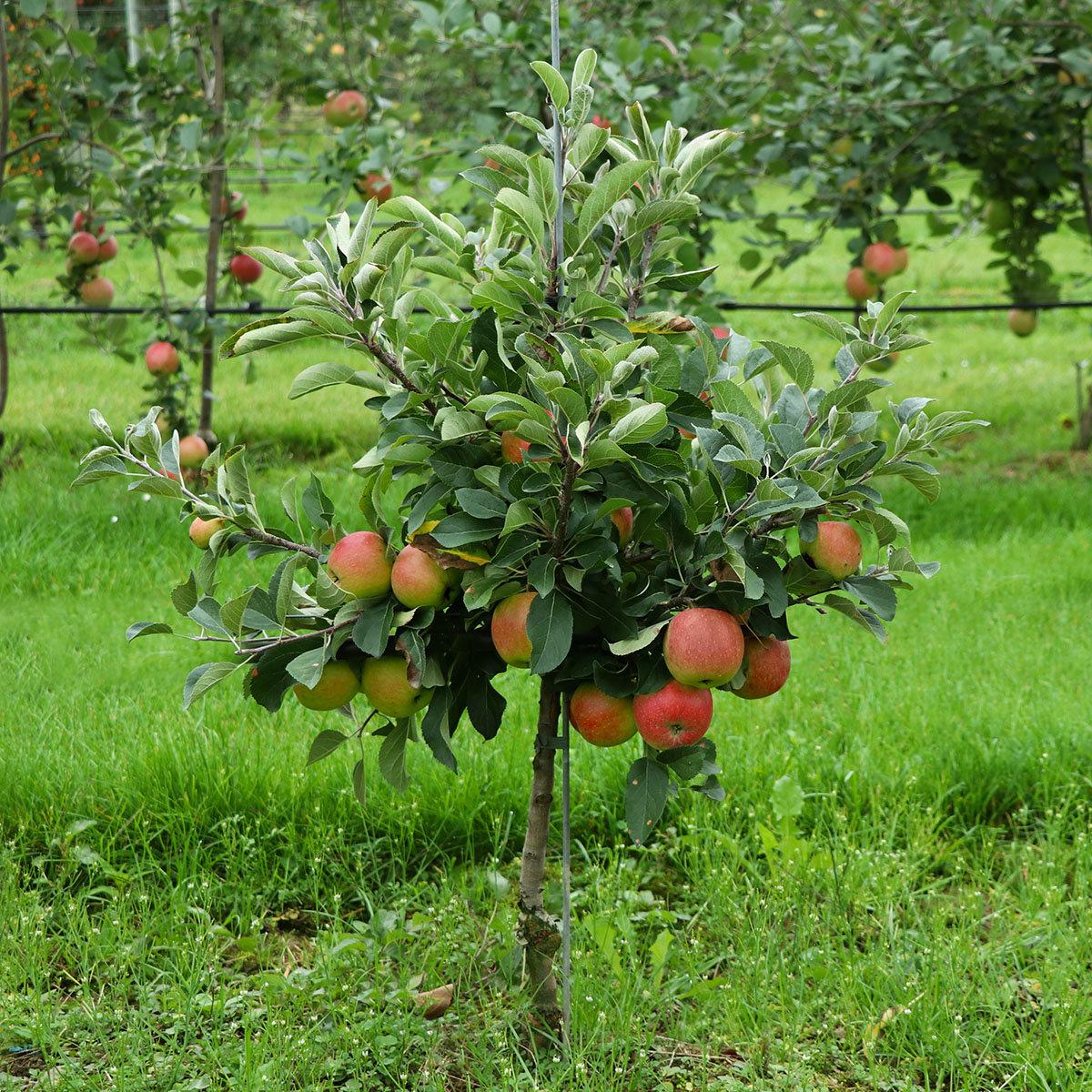zwerg apfelbaum lowfruit maloni gullivers online kaufen bei g rtner p tschke. Black Bedroom Furniture Sets. Home Design Ideas