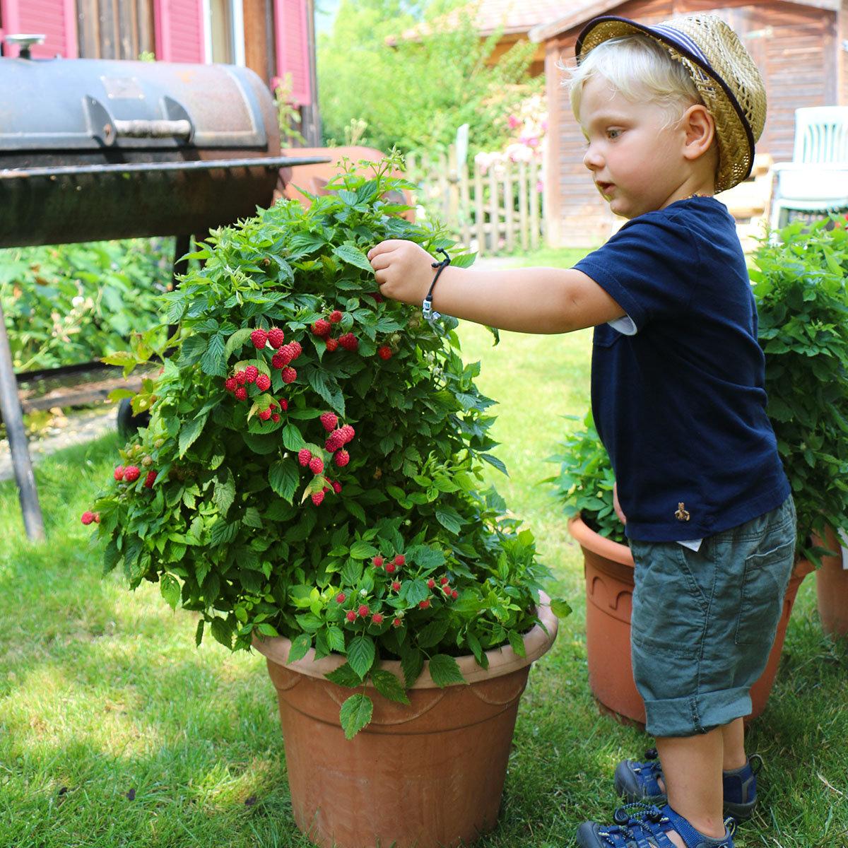 Zwerghimbeere Lowberry® Baby Dwarf®, im ca. 17 cm-Topf